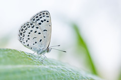 Pale Grass Blue () Tags: nature butterfly insect ngc yokohama gh2 microfourthirds leicadg45mm