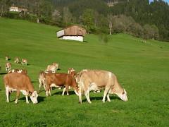 Funktionelles Futter für Kühe - Mehrwert als Nährwert