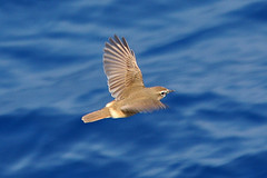 IMG_7559 Siberian Rubythroat (Luscinia calliope) (ajmatthehiddenhouse) Tags: bird calliope 2012 siberianrubythroat lusciniacalliope luscinia wpo2012 calliopecalliope