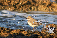 Greater Sand Plover splash (-Filippos-) Tags: sea bird nature water coast sand cyprus greater splash waders plover kypros charadriusleschenaultii