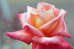 Rose in bloom (Renuka Marshall) Tags: pink beautiful rose garden petals peach serene srilanka flowersarebeautiful hennysgardens