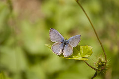 LAzur de l'ajonc (Lia Raquel Dias) Tags: macro azul butterfly papillon borboleta plebejusargus