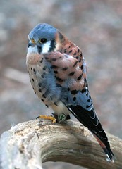 J77A7879 -- American Kestrel at Capilano, near Vancouver (Nils Axel Braathen -- Thanks a lot for +200K views) Tags: canada nature birds vancouver wildlife falcon capilano americankestrel kestrel fugler oiseaux sparrowhawk falcosparverius thegalaxy crcerelledamrique vogeln mygearandme mygearandmepremium mygearandmebronze mygearandmesilver rememberthatmomentlevel1 rememberthatmomentlevel2 rememberthatmomentlevel3 freedomtosoarlevel1birdphotosonly