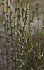 Amperea xiphoclada (Nuytsia@Tas) Tags: australia tasmania southeast plantae euphorbiaceae southarm malpighiales canon60d img4389 taxonomy:family=euphorbiaceae taxonomy:kingdom=plantae geo:country=australia broomspurge taxonomy:order=malpighiales ampereaxiphoclada taxonomy:genus=amperea taxonomy:binomial=ampereaxiphoclada geo:state=tasmania amperea capedeslacsnaturereserve