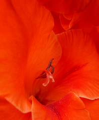 Glorious Gladiolus (Puzzler4879) Tags: flowers brooklyn ngc pointshoot gladiolus canonpowershot sheepsheadbay orangeflowers summerflowers canondigital canonaseries canonphotography wonderfulphotos perfectpetals canonpointshoot flickraward a580 orangegladiolus canona580 canonpowershota580 powershota580 theflowerbasket amazingdetails dragonflyawards unforgettableflowers floralfantasia handselectedphotographs addictedtoflower naturescarousel mygearandme silveramazingdetails level1photographyforrecreation level2photographyforrecreation perfectpetalsprestigious madaboutflowers niceasitgets~level1 niceasitgets~level2 redlevelno1 greenlevelno3