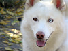 Dukie (WOOF Factory) Tags: dog husky duke canine siberianhusky sibe bieyed