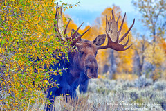Playing Hide And Seek (Aspenbreeze) Tags: autumn wildlife moose antlers wildanimal mooseantlers bullmoose fallseason thegalaxy wyomingwildlife bestcapturesaoi aspenbreeze rememberthatmomentlevel1 rememberthatmomentlevel2 gpsetest