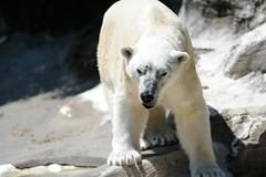 Polar Bear (Tony Shi, Life) Tags: wild animal animals photography zoo image photos wildlife images creature photograh