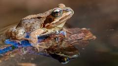 Brown frog (Roy Kerkdijk) Tags: macro natuur dieren weerspiegeling kikkers amfibieen