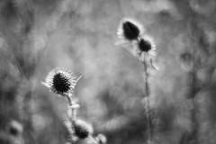 Insult or Injury? (belleshaw) Tags: blackandwhite oakglen losriosrancho nature thistle meadow sharp flowers blooms plant detail bokeh