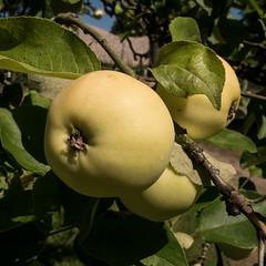 One apple a day...... (Botterbloom) Tags: apple fruits panasonic apfel obst lumixgm5 panasonicleicasummilux15mmf17
