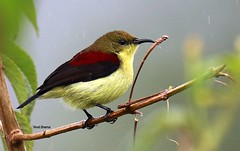 Crimson-Backed Sunbird (Vinod.Sharma) Tags: munnar kerala crimsonbacked sunbird eclipseplumage
