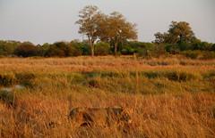 Morning Stroll (www.mattprior.co.uk) Tags: adventure adventurer journey explore experience expedition safari africa southafrica botswana zimbabwe zambia overland nature animals lion crocodile zebra buffalo camp sleep elephant giraffe leopard sunrise sunset