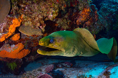 Cozumel (jcl8888) Tags: scuba d7200 cozumel diving mexico nikon green moray eel wildlife nature marine adventure travel colorful coral vacation tokina 1017mm teeth undulating quiet deep sea ocean saltwater thechallengegame