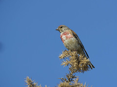 Linotte mlodieuse (JFB31) Tags: linottemlodieuse cardueliscannabina commonlinnet passriformes fringillids