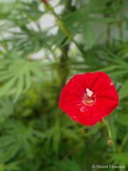 Quamoclit  sloteri (Shiori Hosomi) Tags: 2016 august japan tokyo 23    flowers plants         solanales convolvulaceae ipomoea