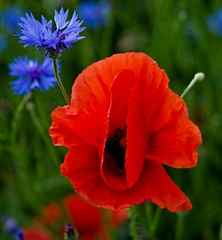 Red and blue 4 (Hejma (+/- 4500 faves and 1,5milion views)) Tags: uplandmiechowska polish poppies cornflowers red blue green