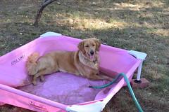 DSC_0147 (ghoulia) Tags: goldendoodle goldenretriever poodle labradoodle labrador rovercom dogvacay