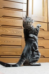 Dancing cat #1396 (K-nekoTR) Tags: cat americanshorthair beautiful cute kitty pretty pet animal japan japanese sony dancing
