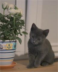 IMG_2537 (murkla_la) Tags: cat russianblue moussie gray graycat