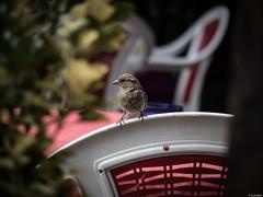 Algo caer (Luicabe) Tags: ngc airelibre animal ave cabello enazamorado exterior gorrin lis luicabe naturaleza profundidaddecampo pjaro silla terraza vertebado yarat1 zamora zoologa zoom