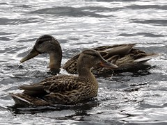 Mallards (deannewildsmith) Tags: earthnaturelife mallard duck