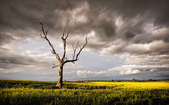 On the road to Young (Colin_Bates) Tags: canola fields storm clouds dead tree young nsw central west