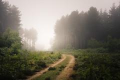 Local Heath 04/06/2016 (Matthew Dartford) Tags: eastanglia fog foggy gold green mist misty norfolk path pathway tree trees