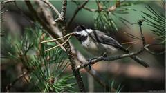 Pine Needles - Explored Sept.7, 2016 (Chris Lue Shing) Tags: nikond7100 tamronsp150600mmf563divcusd aurora ontario nokiidaatrail mckenziemarsh bird wetland pond canada nature blackcappedchickadee chrislueshing summer newmarket