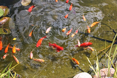 Goldfishes in the garden - Norway (Ingunn Eriksen) Tags: goldfish goldfishpond