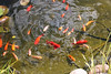 Goldfishes in the garden (Ingunn Eriksen) Tags: goldfish goldfishpond