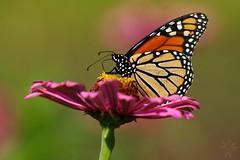 Monarch (Shutter_Hand) Tags: texas usa miguelmendozamuoz clarkgardens botanicalpark weatherford mineralwells secretgarden parquebotnico jardinbotnico botanico jardin jardinsecreto texasgem texasjewel lenscraft sony alpha a900 sonyalphaa900 sonyaf70400mmf456gssm sal70400g butterfly mariposa  papallona sommerfugl perhonen papillon schmetterling farfalla   borboleta  fjril bm    monarca monarch