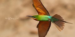 Blue Tailed Bee Eater (Wasif Yaqeen) Tags: bluetailedbeeeater beeeater flight nature wildlife birds birdsofpakistan pakistanwildlife wildlifeofpakistan animals pakistannature wasifyaqeen wasif animalplanet nationalgeographic outdoor birdsinnaturalhabitat birdshabitat pakistan wasifyaqeenphotography