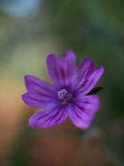 Embrace (Senseel) Tags: macr flower violet closeup dof bokeh