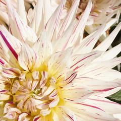 Dahlia (kristin.mockenhaupt) Tags: nature natur wiese meadow frhling sommer summer spring springtime flower blume dahlie dahlia makro macro blte bloom