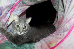 Hanate playing in their new tunnel photo of the day 9/19/2016 (Patches Madison) Tags: handsome hanate tunnel gray tabby cute adorable sweet