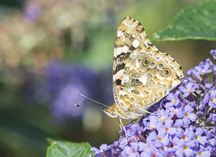 painted lady (chris.lloydrogers) Tags: paintedlady vanessacardui underwings nature wildlife butterfly insect macro nikon