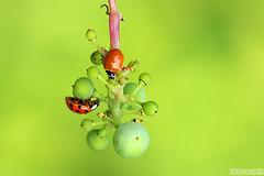 The Ampelographers (Vie Lipowski) Tags: ladybug ladybird ladybeetle spotlessladybug cyclonedamunda polishedladybug vitisripariamichx riverbankgrape frostgrape wildgrapes grapelet grapelets insect beetle bug wine fruit wildlife nature macro