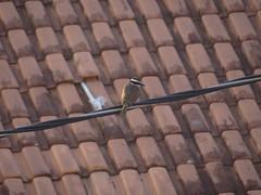 DSC06479 Bem-Te-Vi (familiapratta) Tags: sony dschx100v hx100v iso100 natureza pssaro pssaros aves nature bird birds montesio montesiomg brasil