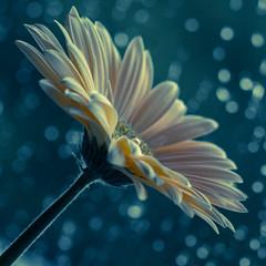 Its wet outside (C r a i g W) Tags: flower colour macro wet rain canon close drop 100mm dew 60d