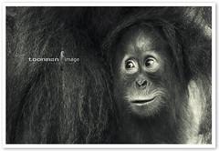 Singapore Zoo - Orang Utan (TOONMAN_blchin) Tags: orangutan singaporezoo thegalaxy toonman mygearandme mygearandmepremium mygearandmebronze mygearandmesilver mygearandmegold