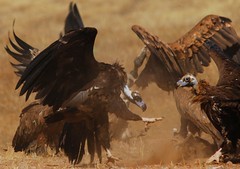 War (anacm.silva) Tags: wild portugal nature wildlife natureza vultures vulture blackvulture blackvultures moura cinereousvulture abutre abutres aegypiusmonachus europeanblackvulture abutrepreto herdadedacontenda