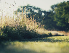 Imaginary bunnies (Mathijs Delva) Tags: morning green nature field grass sunrise early weeds bokeh pov low fresh dew 50mmf14 morningsun niftyfifty