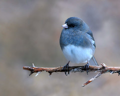 Junco (Clyde Barrett) Tags: darkeyedjunco