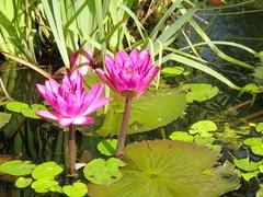sfumature di lilla..... (g.fulvia) Tags: flowers garden fiori 3f botanicalgarden lagomaggiore nymphea ninfea giardinobotanico isolamadre floraandfaunaoftheworld