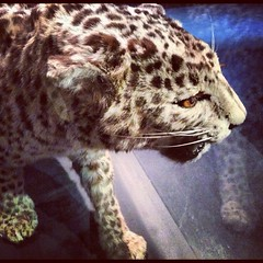 Day 11 - How the Leopard Got its Spots (akhenatenator) Tags: taxidermy worth1000 alanturing
