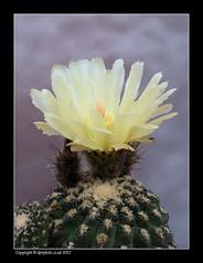 Eriosyce Napina (david_phil) Tags: flowers cactus yellow cacti nikon eriosyce neochilenia neoporteria eriosycenapina d7000 dprphoto