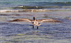 Clear for landing (David Haslehurst) Tags: sea summer feet water canon mexico flying wings waves tail feathers pelican landing 5d wingspan 2012 mkii canonmkii canon5dmkii 5dmkii mygearandme