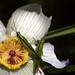 Flor de lilis, a qual os aborígines comem