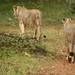 Duas leoas brincalhonas